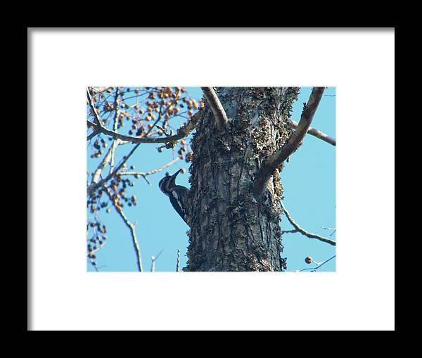 Hairy Woodpecker On A Tree Framed Print featuring the photograph Hairy Woodpecker by Nereida Slesarchik Cedeno Wilcoxon