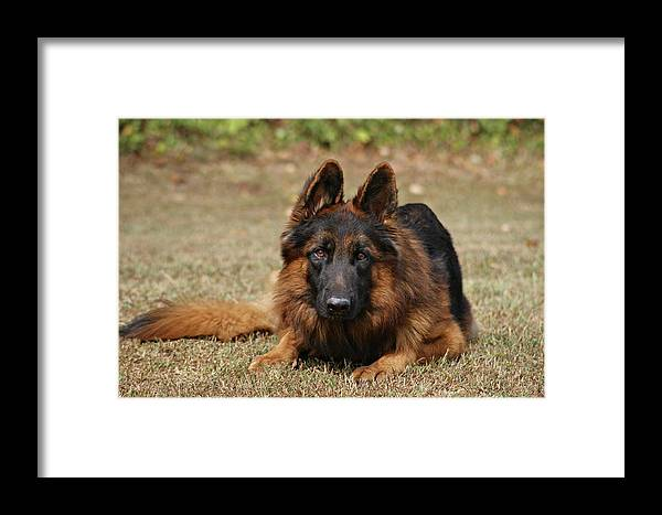 Dogs Framed Print featuring the photograph Handsome Fella by Sandy Keeton