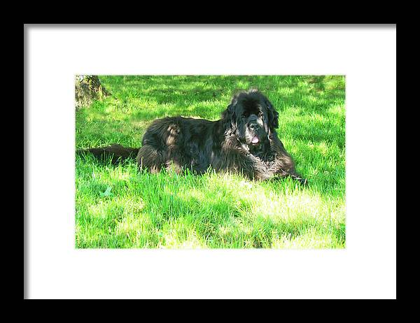 Male Newfoundland Dog Framed Print featuring the photograph Handsome guy by Lisa Rose Musselwhite