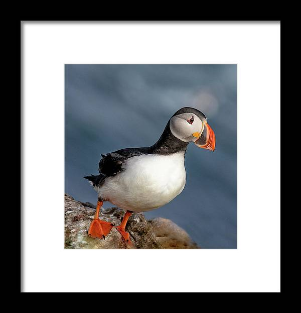 Puffins Framed Print featuring the photograph Hangin' by Leigh Lofgren