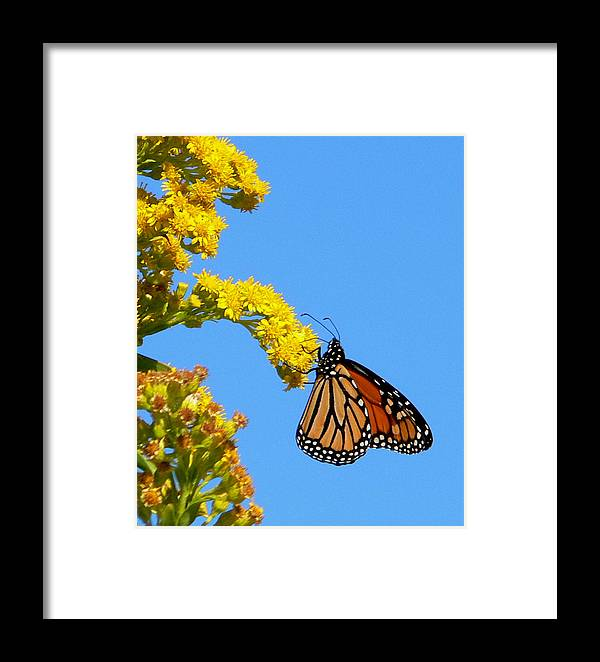 Monarch Framed Print featuring the photograph Hangin' On by Tom LoPresti