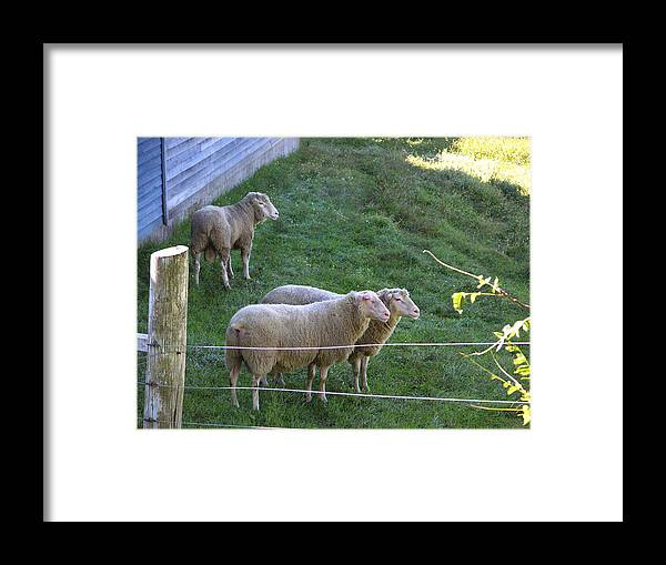 Sheep Framed Print featuring the photograph Hanging With The Boys by Peter Williams