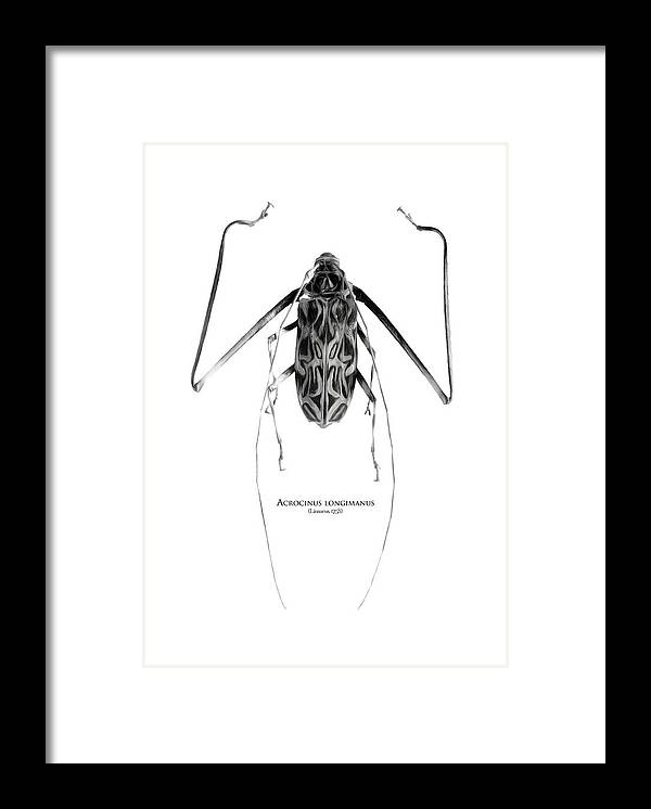 Black-and-white Framed Print featuring the digital art Acrocinus I by Geronimo Martin Alonso