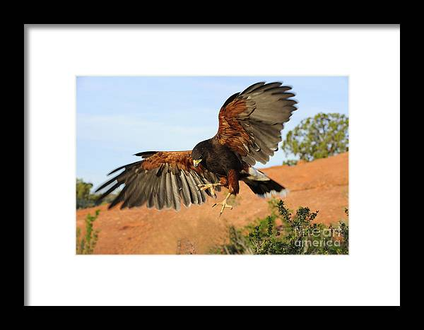 Bird Framed Print featuring the photograph Harris Hawk On The Wing by Dennis Hammer