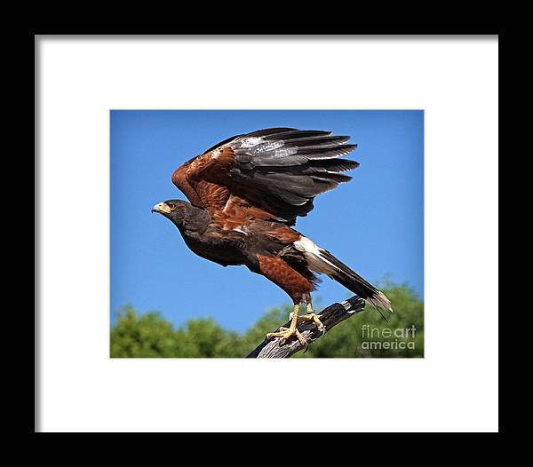 Harris's Hawk Framed Print featuring the photograph Harris's Hawk by Martin Konopacki