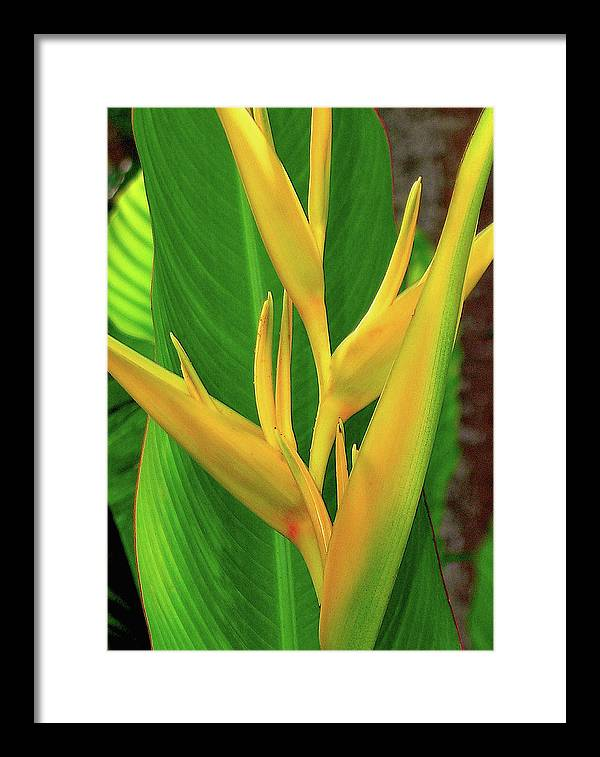 Hawaii Flowers Framed Print featuring the photograph Hawaii Golden Torch by James Temple