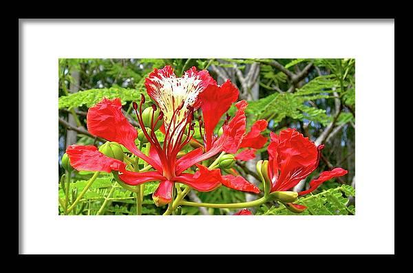 Royal Ponciana Framed Print featuring the photograph Hawaiian Royal by James Temple