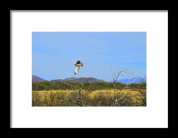 Large Framed Print featuring the photograph Hawk In Flight Over The Desert by Teresa Stallings