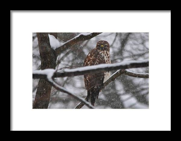 Soft Shouldered Hawk In Snow Storm Framed Print featuring the photograph Hawk In Snow Storm by Bill Driscoll