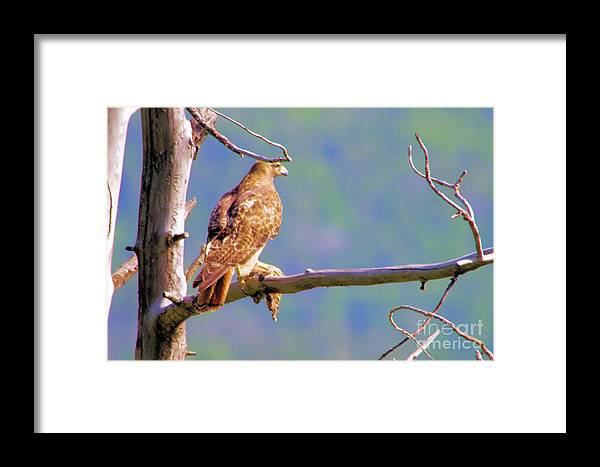 Hawk Framed Print featuring the photograph Hawk With Prey by Jeff Swan