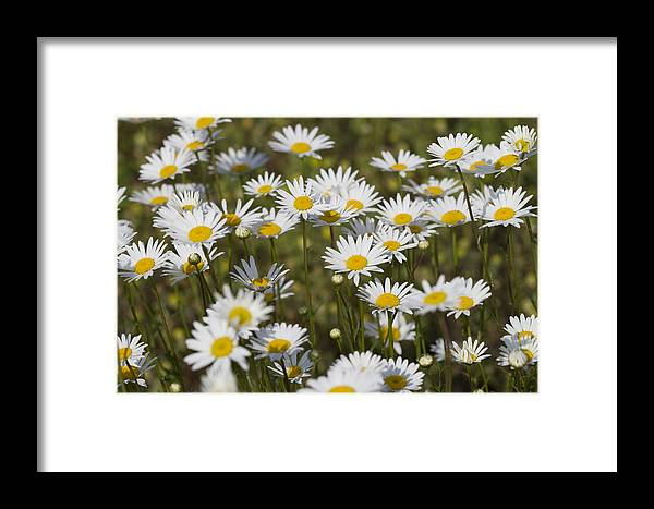 Oxeye Daisies Framed Print featuring the photograph He Loves Me Daisies by Kathy Clark