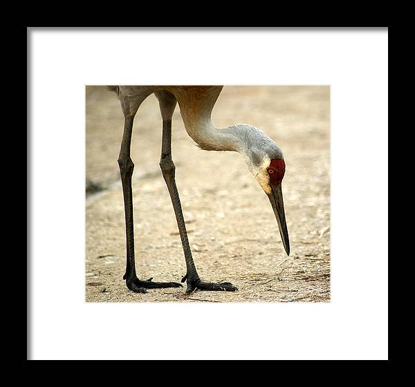 Sandhill Crane Framed Print featuring the photograph Head And Toes by Dawn Williams