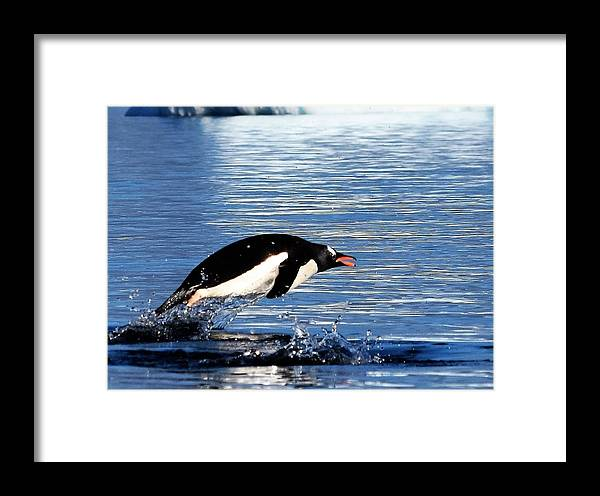 Gentoo Penguin Framed Print featuring the photograph Heading Out by Chris Hanlon