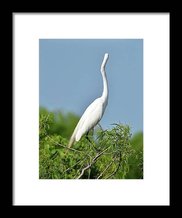 Bird Framed Print featuring the photograph Headless Great Egret by Lindy Pollard