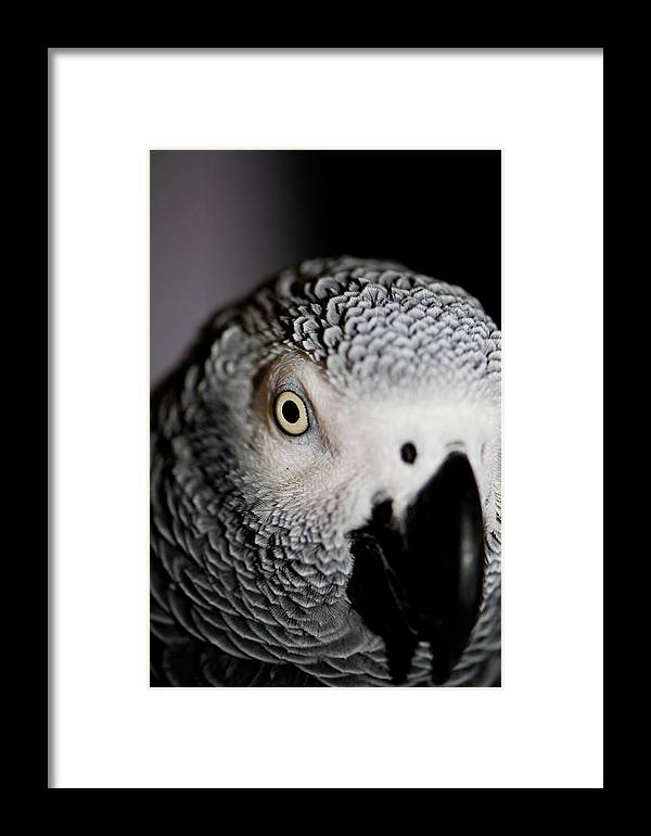 African Gray Parrot Framed Print featuring the photograph Heeere's Bogie by Betty LaRue