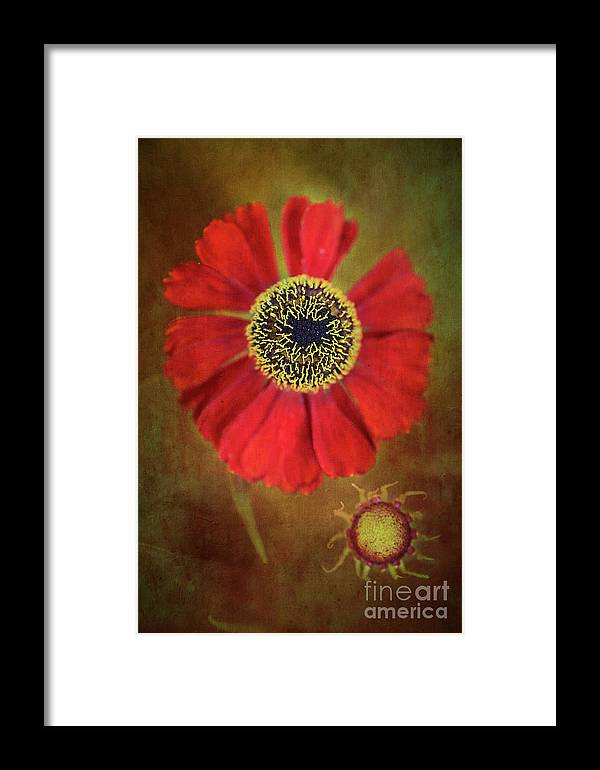 Flower Framed Print featuring the photograph Helenium Beauty by Alenka Krek