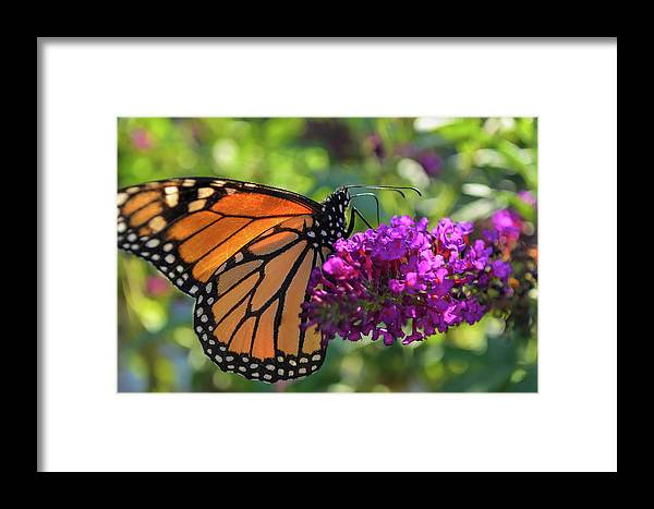 Monarch Butterfly Framed Print featuring the photograph Hello Monarch by Melissa Hicks