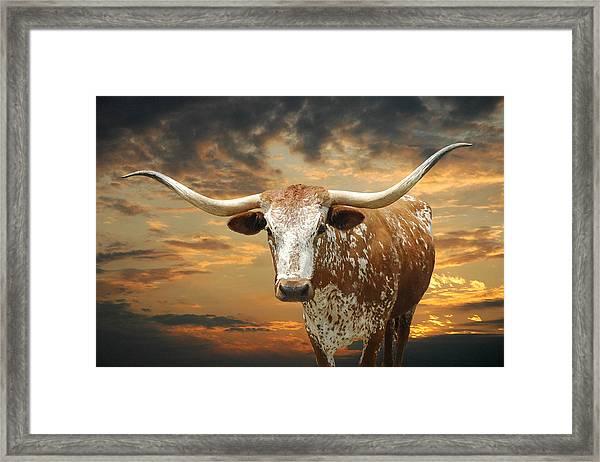 Henly Longhorn Framed Print By Robert Anschutz