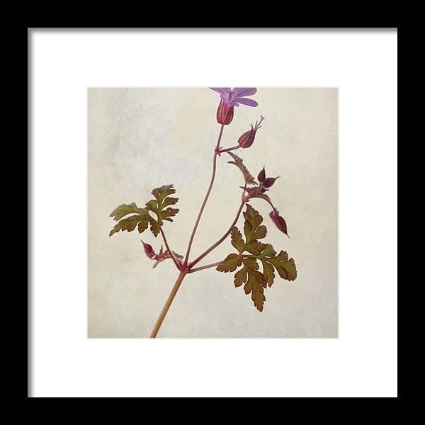 Beautiful Framed Print featuring the photograph Herb Robert - Wild Geranium  #flower by John Edwards