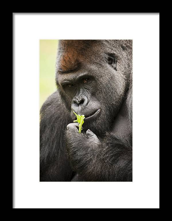Gorilla Framed Print featuring the photograph Here Is Looking At You. by Chad Davis
