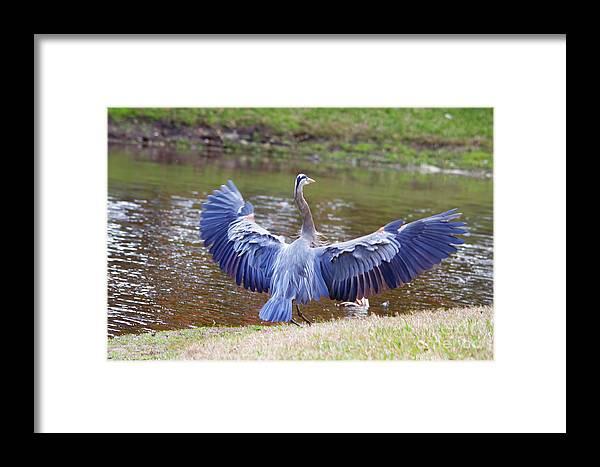 Blue Heron Framed Print featuring the photograph Heron Bank Landing by Deborah Benoit