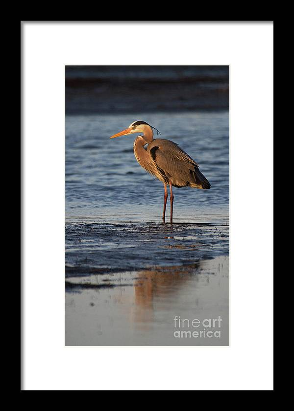 Heron Framed Print featuring the photograph Heron In The Ocean by Ruth Jolly