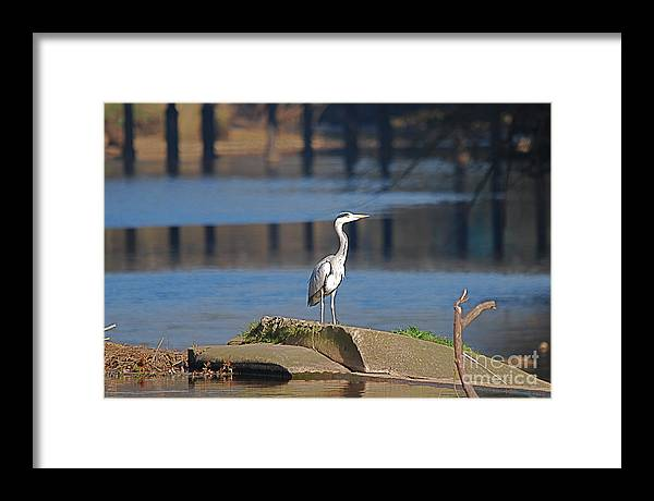 Herons Framed Print featuring the photograph Heron On Ruswarp Weir by Doug Thwaites