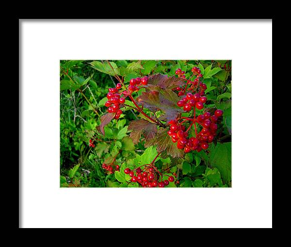 Hi Bush Cranberries Berries Framed Print featuring the photograph Hi Bush Cranberry Close Up by Joanne Smoley