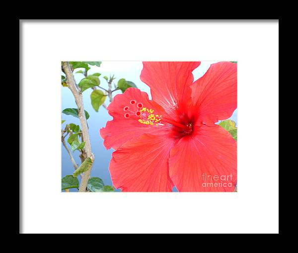 Flower Framed Print featuring the photograph Hibiscus At Full Bloom by Chad Natti
