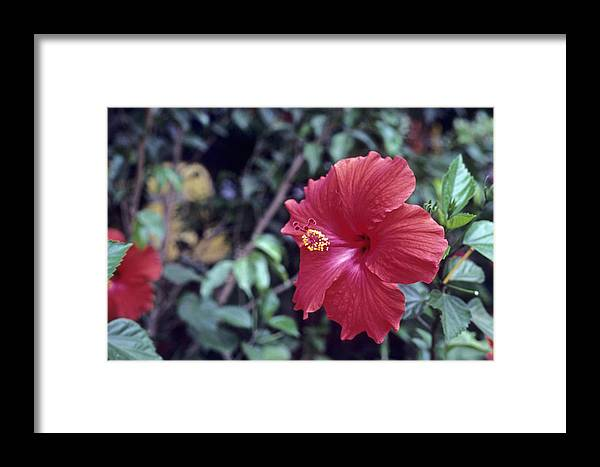 Flower Framed Print featuring the photograph Hibiscus by Deni Dismachek