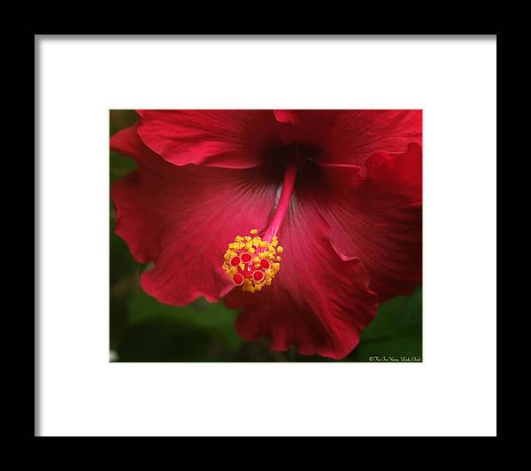 Hibiscus Flower Flowers Plants Blooms Garden Floral Framed Print featuring the photograph Hibiscus by Linda Ebarb