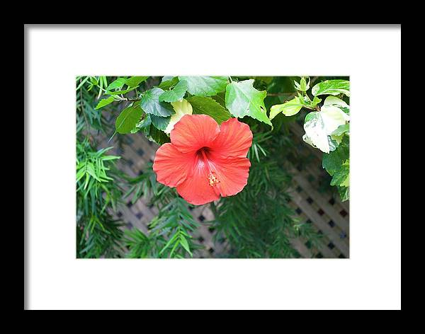 Hibiscus Framed Print featuring the photograph Hibiscus by Margaret Fronimos