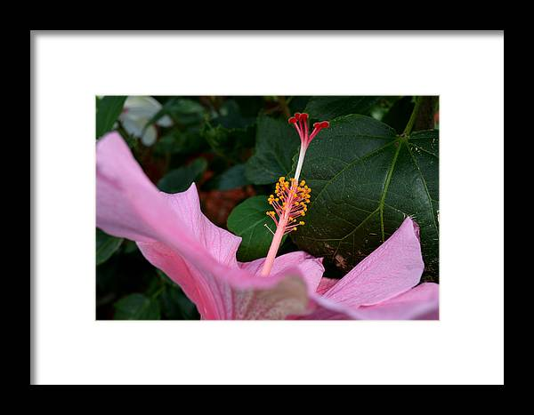 Hibiscus Framed Print featuring the photograph Hibiscus Pink Flower by Reva Steenbergen