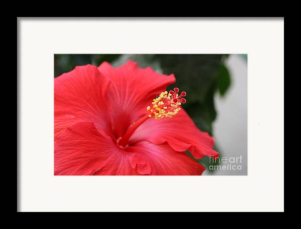 Red Flower Framed Print featuring the photograph Hibiscus by Steve Augustin