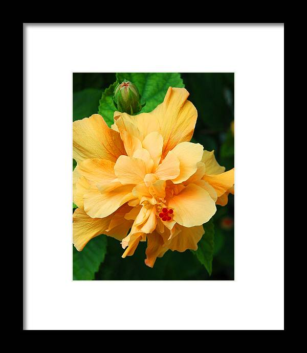 Hibiscus Framed Print featuring the photograph Hibiscus by Susanne Van Hulst