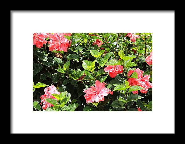 Hibiscus Framed Print featuring the photograph Hibiscus Tree by Robert Hamm