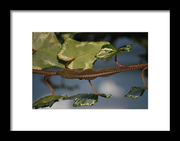 Anole Framed Print featuring the photograph Hide And Seek by Trudi Southerland