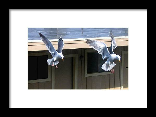 Seagulls Framed Print featuring the photograph High Spirits by Will Borden
