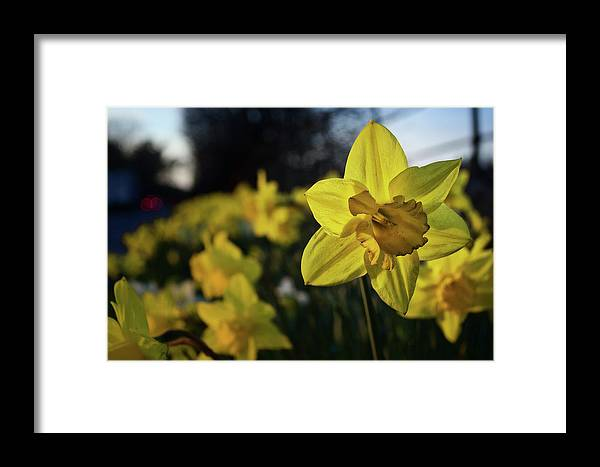 Daffodil Framed Print featuring the photograph Highway Daffodil by Mark Hunter