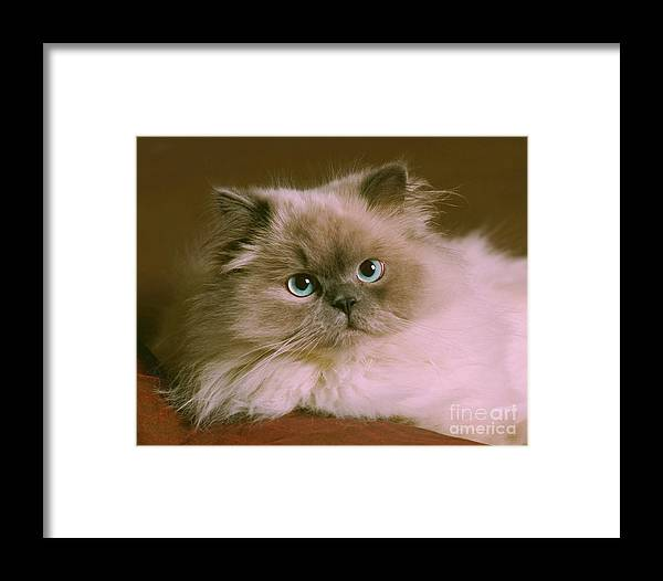 Animal Framed Print featuring the photograph Himalayan Cat by Crystal Garner
