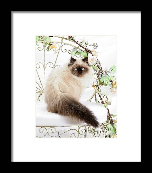 Animal Framed Print featuring the photograph Himalayan Kitten by Crystal Garner