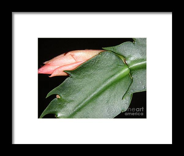 Nature Framed Print featuring the photograph Holiday Cactus - Budding by Lucyna A M Green