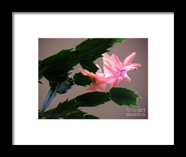 Nature Framed Print featuring the photograph Holiday Cactus - On Wings by Lucyna A M Green