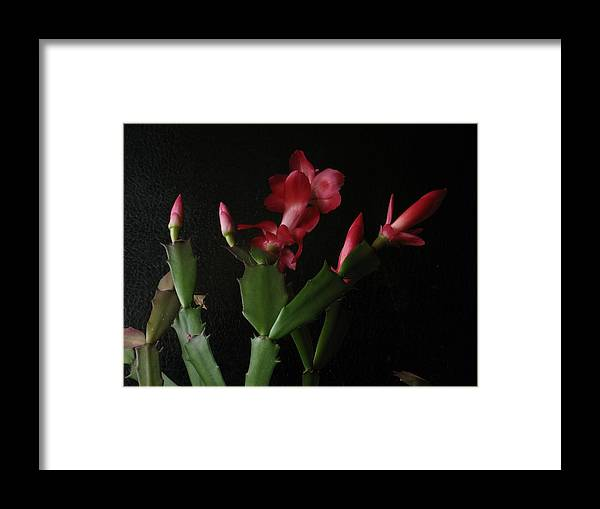 Blossom Framed Print featuring the photograph Holiday Cactus Blooms by Robert Bissett