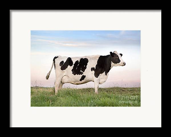 Cattle Framed Print featuring the photograph Holstein Dairy Cow by Cindy Singleton