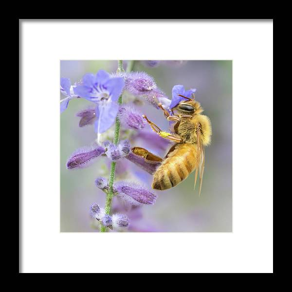 Apidae Framed Print featuring the photograph Honey bee 2 by Jim Hughes