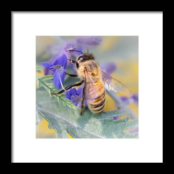 Apidae Framed Print featuring the photograph Honey bee 3 by Jim Hughes