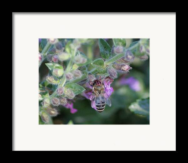 Bee Framed Print featuring the photograph Honey Bee by Liz Vernand