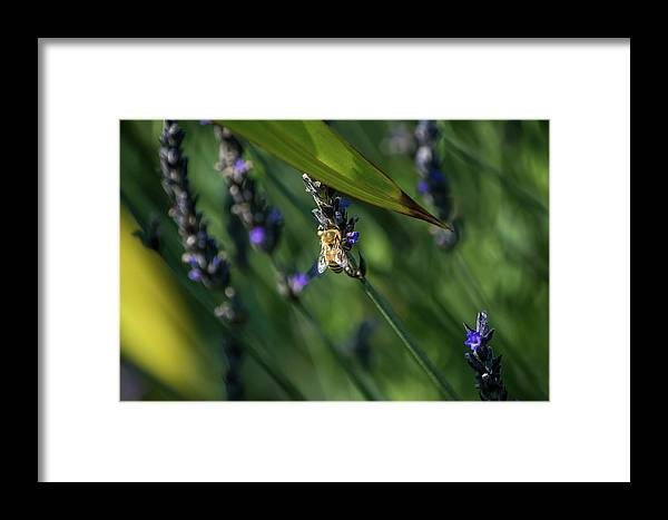 Bee Framed Print featuring the photograph Honey Bee On Flower #4 by Eric Strickland