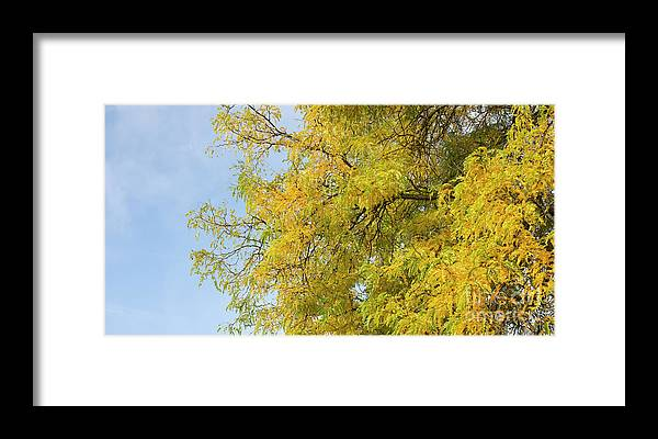 Gleditsia Triacanthos Sunburst Framed Print featuring the photograph Honey Locust Tree by Tim Gainey